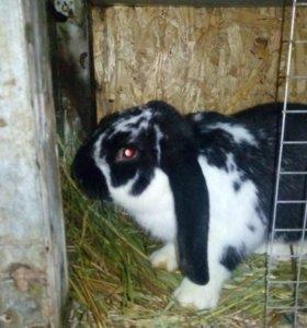 """Кролик порода """" Баран""""."""