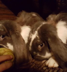 Кролики на разведение.
