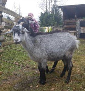 Альпийско- нубийские козы.