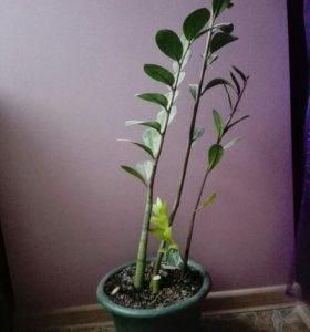 Домашний цветок - Замиокулькас (долларовое дерево)