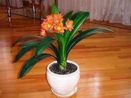 Кливия оранжевая,роза, педилантус