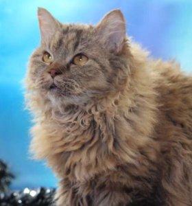 Кошка селкирк рекс в добрые руки Василиса,кошечка