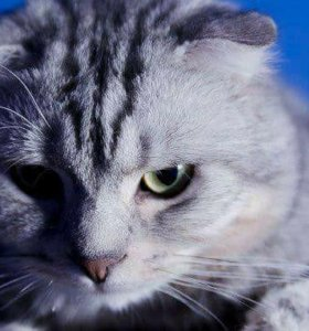Шотландский вислоухий кот (смесь)