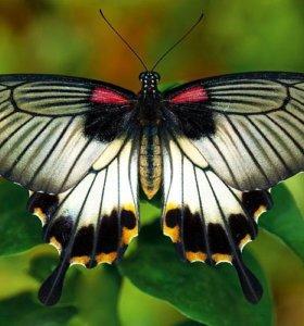 Экзотические Живые Бабочки из Африки Белый Морфо