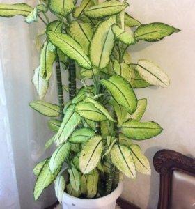 Комнатное растение Дефинбахия