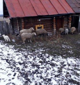 Овцы 7 штук