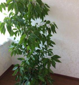 """Комнатное растение """"китайская роза"""""""