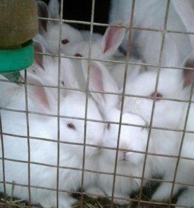 Продам крольчат смешаных мясных пород