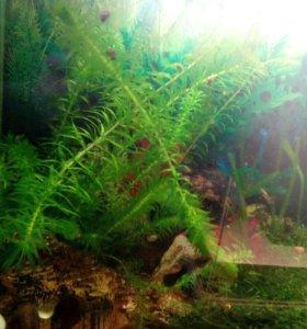 Элодея для аквариума