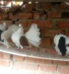 Голуби павлины