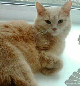 Кошечка персикового окраса