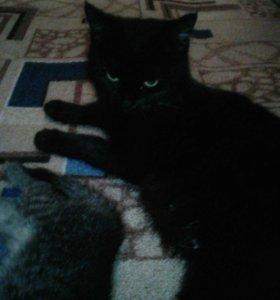 Крупная черная кошка