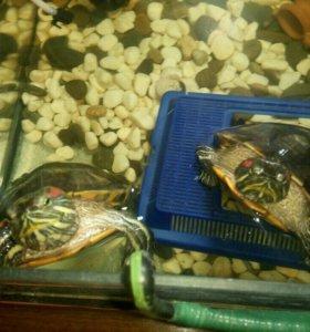 Террариум с черепахами даром