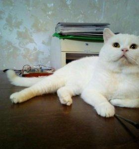 Вязка с Британским котом