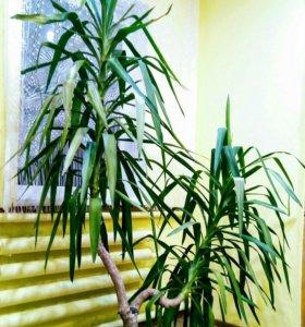 Домашнее растение юкка