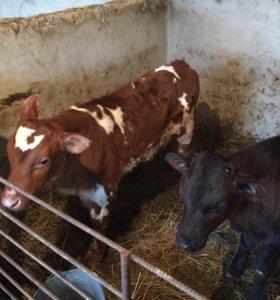 Коровы бычки
