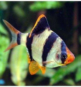 Барбус суматранский (Barbus tetrazona)