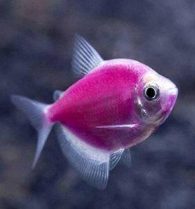 Тернеция (Gymnocorymbus ternetzi GloFish) флуоресц
