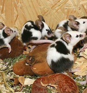 Сатиновая мышка