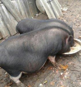 Вьетнамские свиньи!