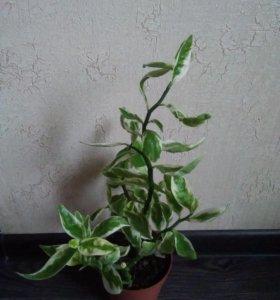 Комнатное растение Педилантус
