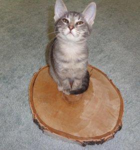 Домашняя кошка бесплатно в добрые руки
