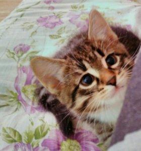 Сибирский котёнок. Девочка .
