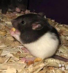крысы(белые и чёрные и воротничковые)