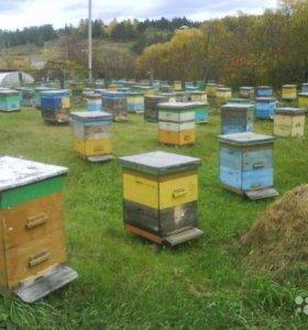Продаются Пчёлы