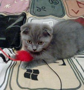 Котёнок шатландец вислоухий