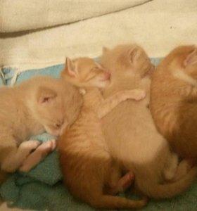6 рыжих котят