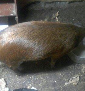 продам свинью мангалица