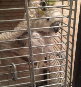 Попугай Какаду желтохвостый