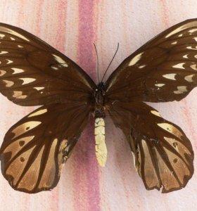 Яркие Живые Бабочки из Амазонки Белый Ангел