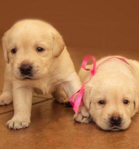 Очень красивые и умные щенки лабрадора-ретривера