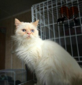 Персидский кот