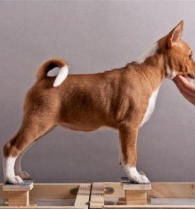 Подготовка собак к выставке в хендлинг зале