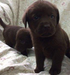 Шоколадные щенки лабрадора!