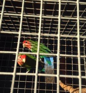 Попугаи неразлучники вместе с клеткой