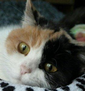 Кошечка-трехцветка в любящие руки