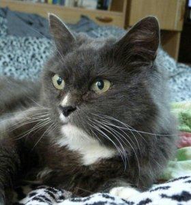 Кошка-метис русской голубой в добрые руки