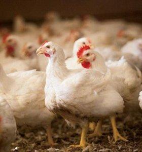 Продажа цыплят бройлеров и кур на мясо.