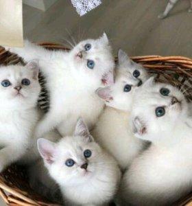 Британские котята (шиншиллы)