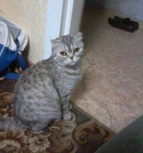 шотландка кошка
