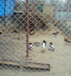 утки пеганки