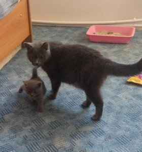 Котята загульной британской кошки