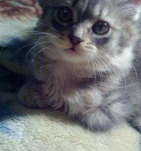 Кошечка. Мама британка папа сибирский кот.