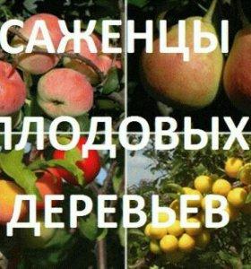 Плодовые саженцы в Архипо-Осиповке.