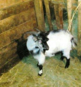 Молодой козел