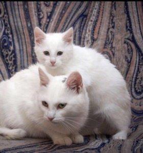 Белый котёнок девочка 2,5 мес